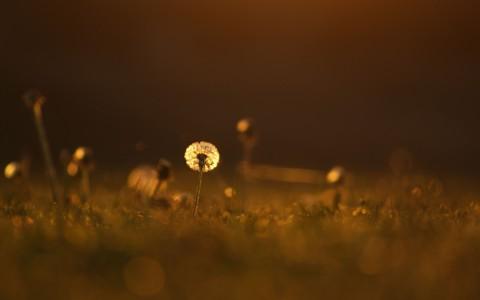 漂亮的蒲公英花朵壁纸
