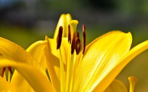 黄色的百合花贴在墙纸上