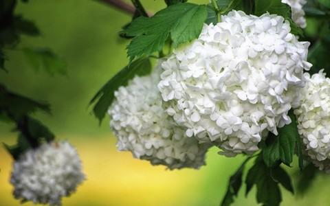 白色绣球花壁纸