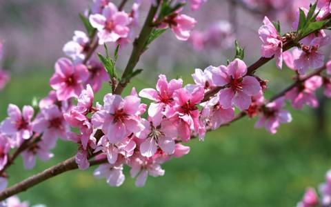 漂亮的粉红花壁纸