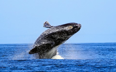 鲸鱼动物桌面壁纸