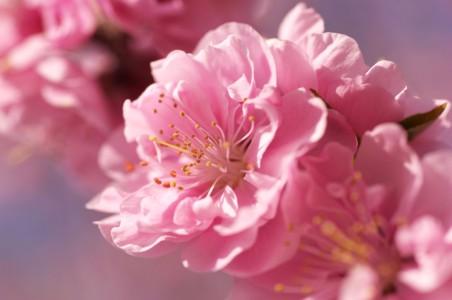 盛开在春天的樱花
