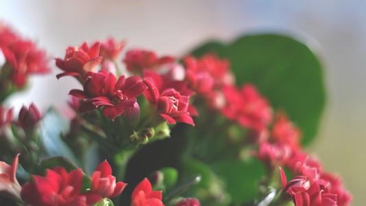 红色的花壁纸