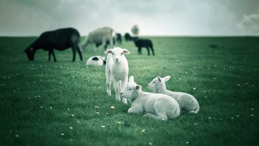 牧羊桌面壁纸