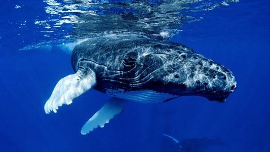 鲸鱼动物宽屏壁纸