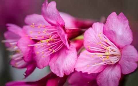 春天里粉嫩嫩的樱花