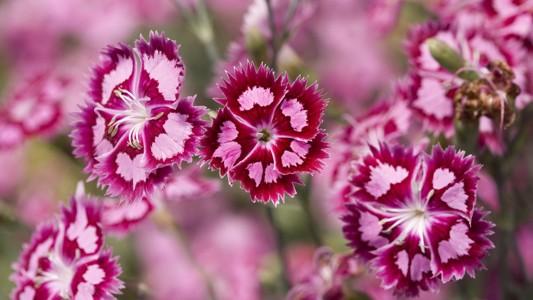 神奇的粉红色的花