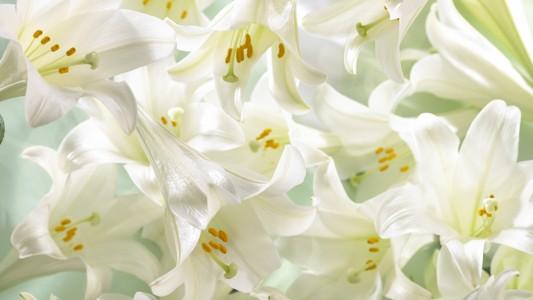 白色百合花桌面壁纸