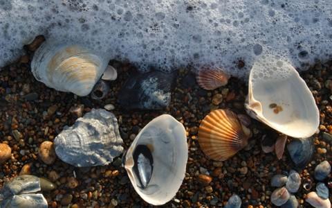 美妙的海扇贝壁纸