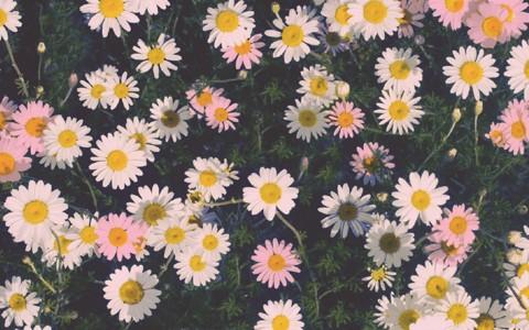 可爱的菊花壁纸
