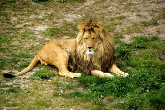 大狮子睡觉图片