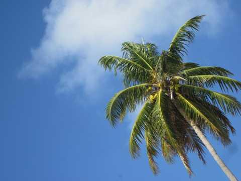 一棵椰子树图片