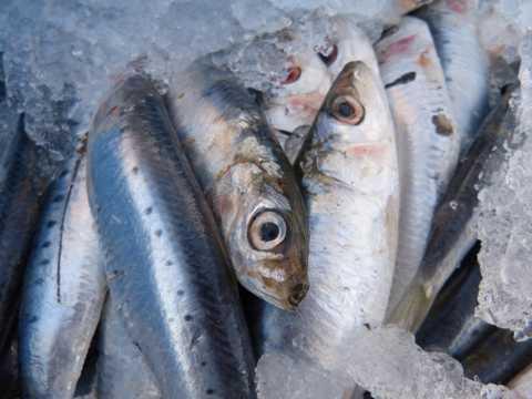 冰冻的沙丁鱼图片