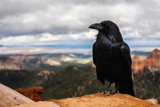 一只黑色羽毛的乌鸦图片