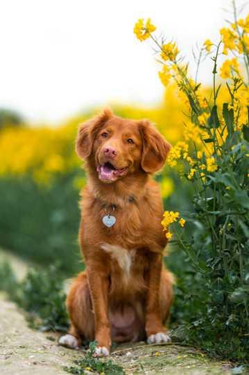 油菜花海边上的金毛犬图片