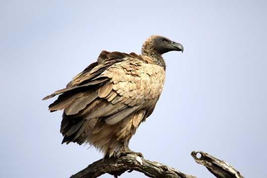 树枝上的兀鹫图片