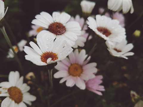 唯美雏菊上的水珠图片