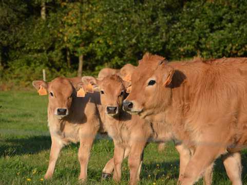 三头小黄牛图片