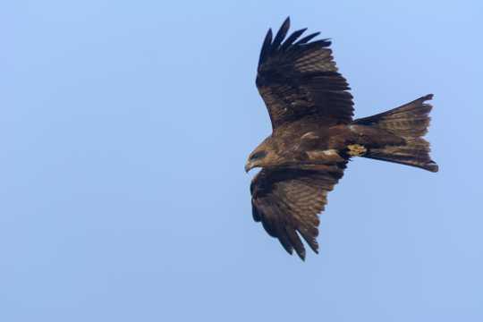 黑色老鹰展翅高飞图片