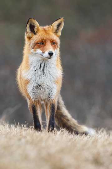 野生赤狐图片