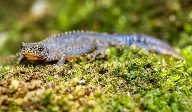 喜好在潮湿地方居住的蝾螈图片