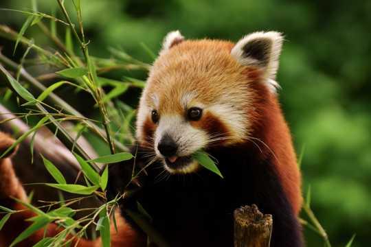 乖巧呆萌的小熊猫图片