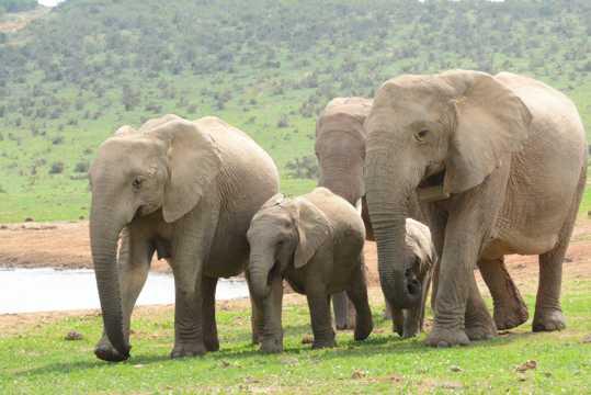 南非野生大象群图片