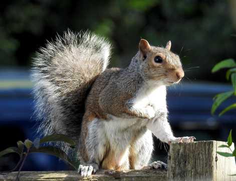 灰色小松鼠高清图片