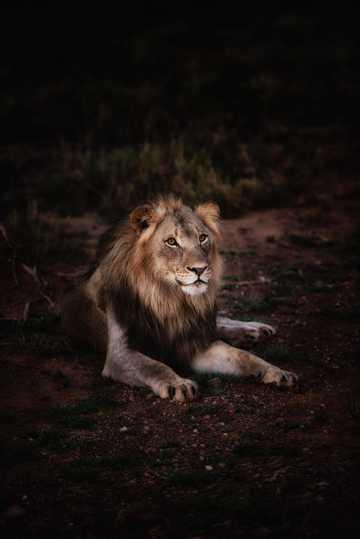野生狮子图片
