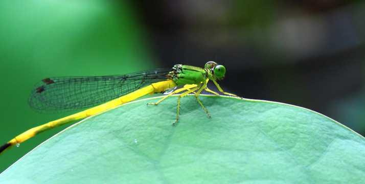 停留在荷叶上的黄色小蜻蜓图片