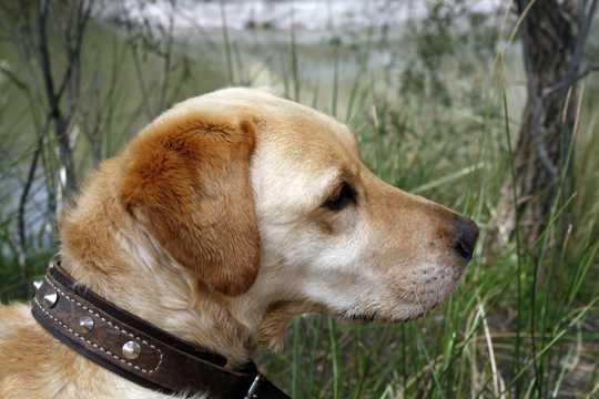 小型拉布拉多犬图片