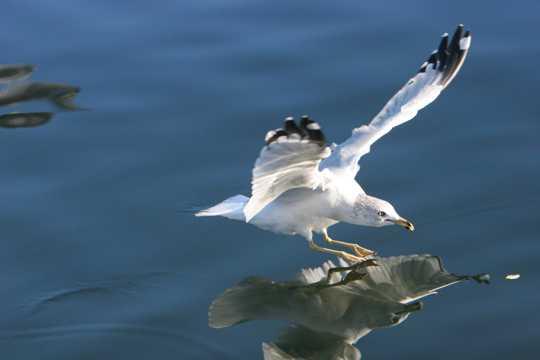 飞行的海鸥高清图片
