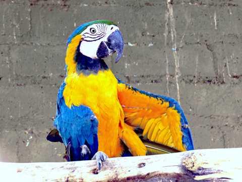 羽毛光鲜的金刚鹦鹉图片
