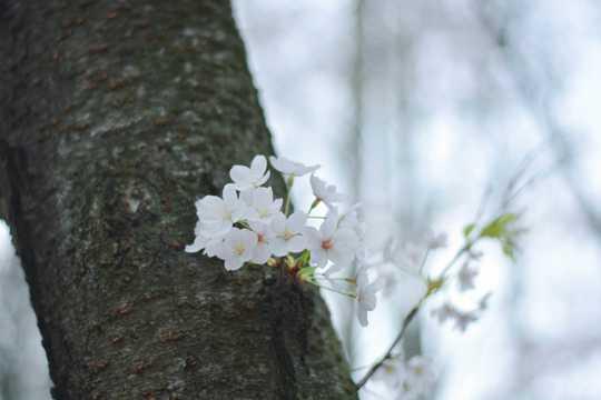 春天大树开花图片