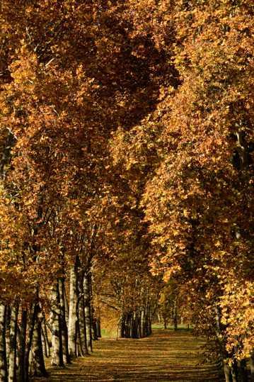 法国梧桐树图片