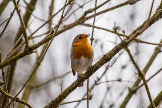 站在树枝上的知更鸟图片
