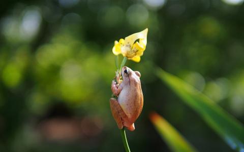 在花上的青蛙