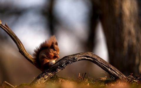 蓬松的松鼠