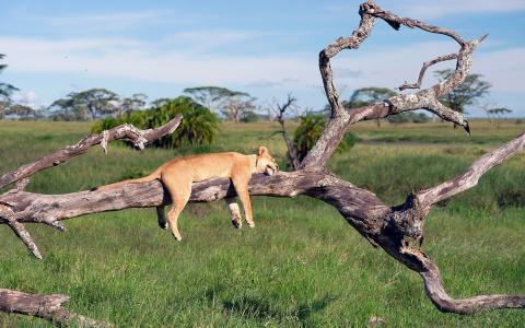 懒惰的狮子在树干上