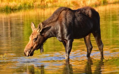 驼鹿饮用水