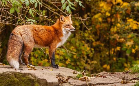 狐狸在岩石上