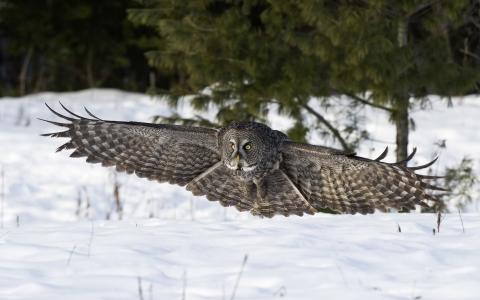 飞行猫头鹰