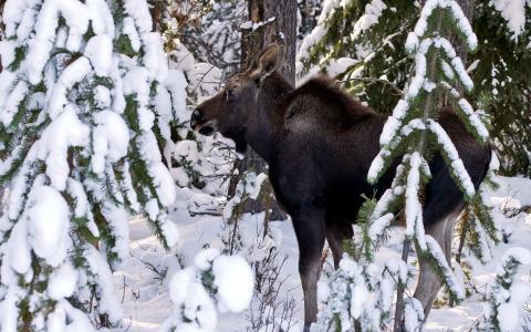 驼鹿在雪地里
