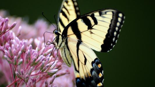 黄色的蝴蝶