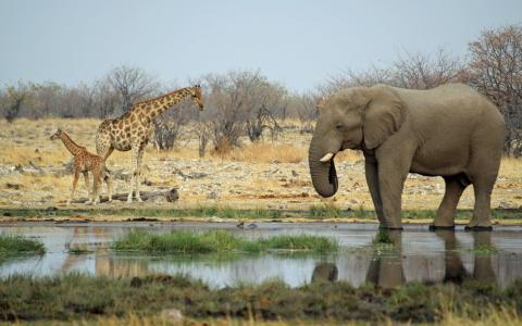 大象和长颈鹿