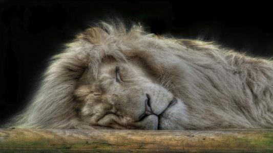 沉睡的狮子