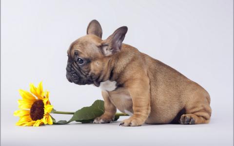 与向日葵的小狗