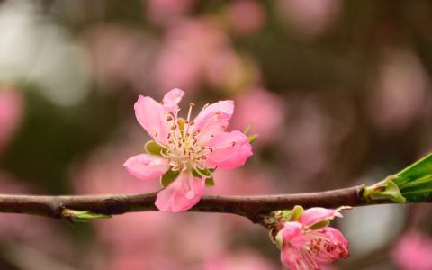 清新唯美的桃花