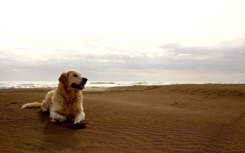 在海滩上的金毛猎犬