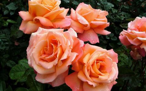 与露水的粉红玫瑰